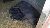 New piglets at Heeley City Farm